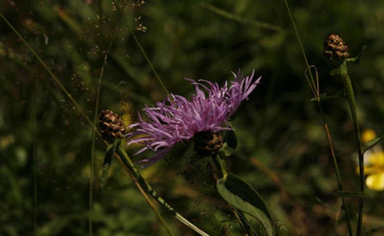 17 Flockenblume