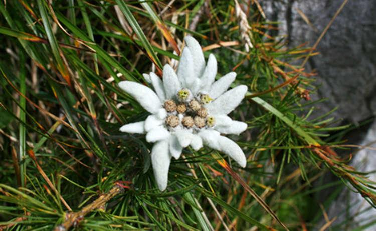 26 Edelweiss 1