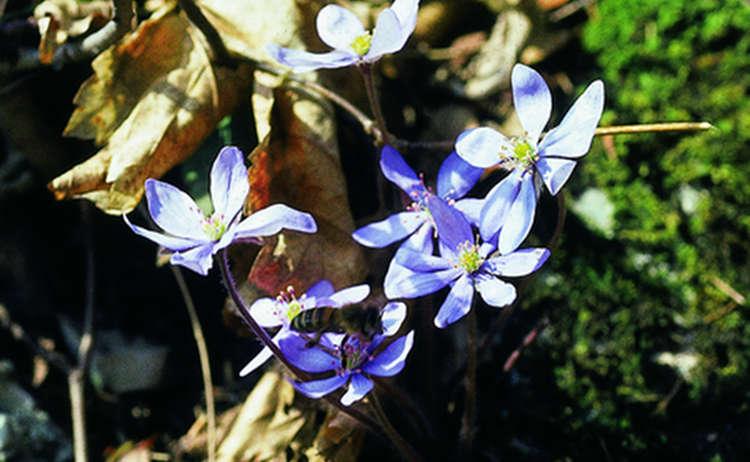 4 Leberbluemchen