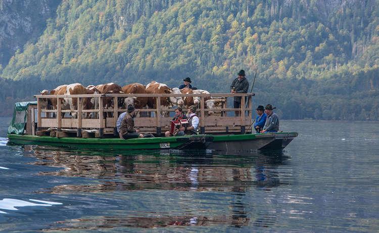 Kühe auf dem Königssee beim Almabtrieb