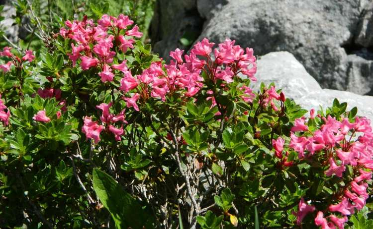 Almrausch: Die bewimperte Alpenrose