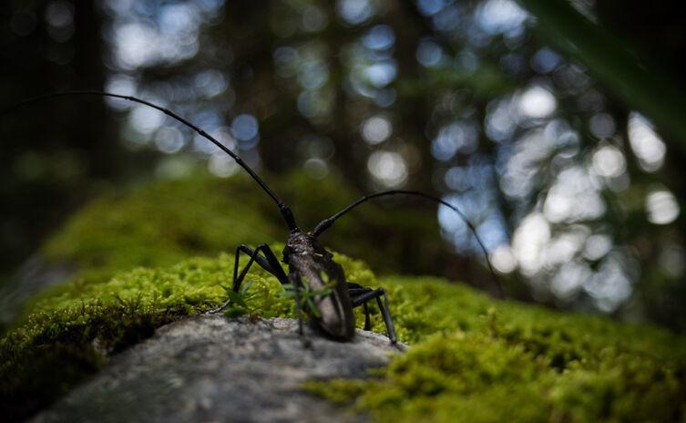 Alpenbock Käfer im Nationalpark Berchtesgaden