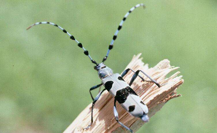 Ein Alpenbock-Käfer