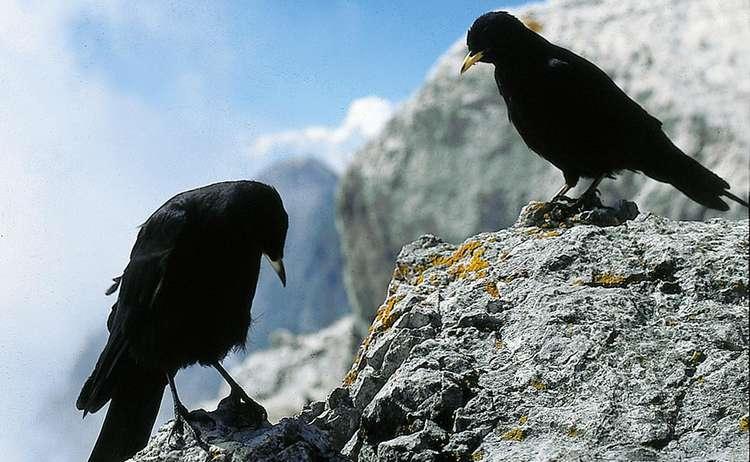 Alpendohlen im Nationalpark Berchtesgaden