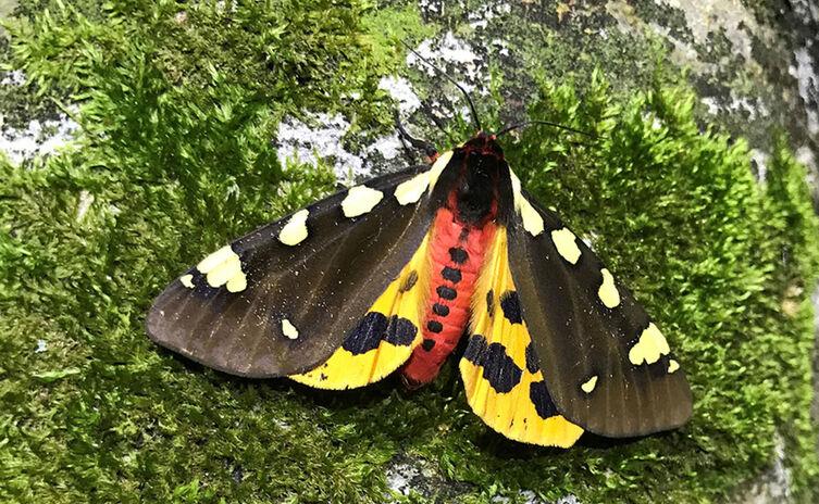 Augsburger Bär: Seltener Schmetterling im Nationalpark Berchtesgaden