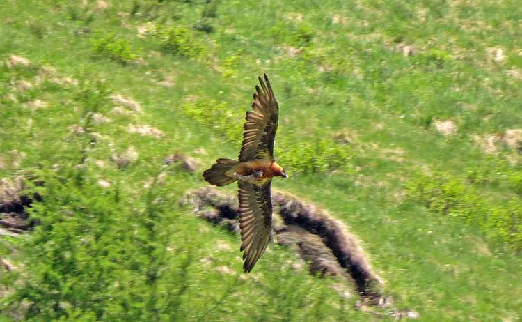 Bartgeier im Flug © Wildtierführungen Toni Wegscheider