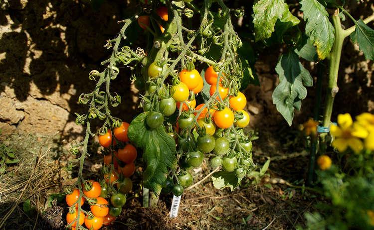 Bauerngarten Tomate Rupertiwinkel Berchtesgaden