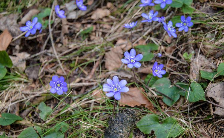 Berchtesgaden Leberbluemchen