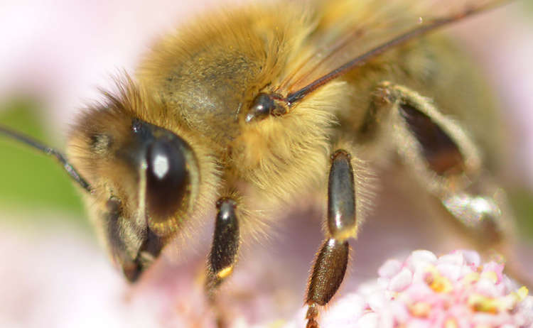 Biene Auf Schafgarbe Nationalpark Berchtesgaden