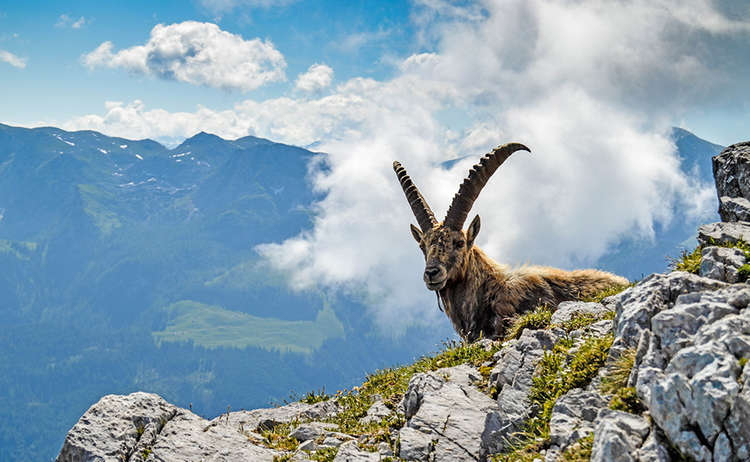 A capricorn in the national park Berchtesgaden