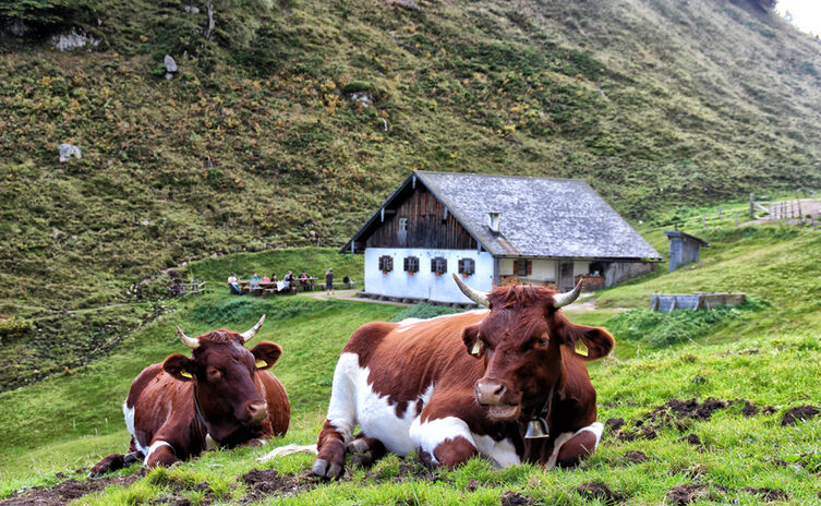 Cows at Halsalm   Mountain pasture