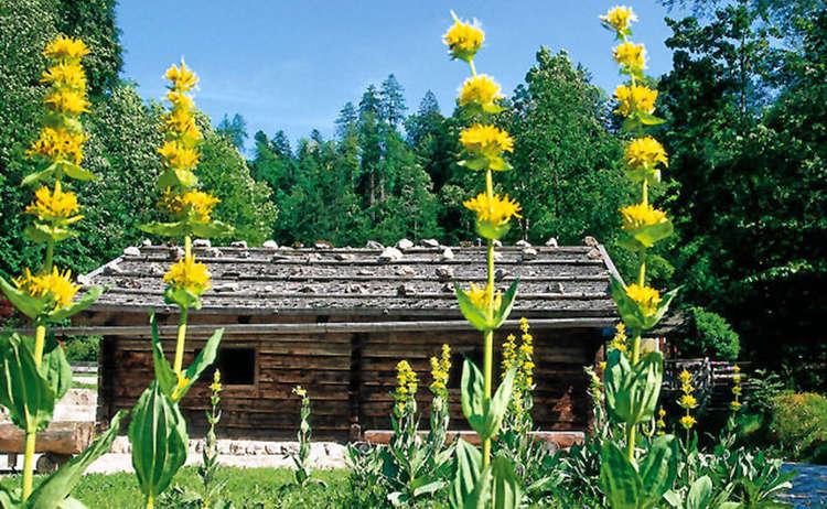 Enzian Natur Alpin