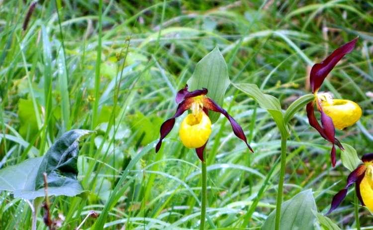 Frauenschuh Orchidee Nationalpark Berchtesgaden
