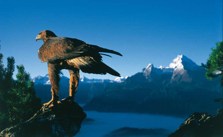 Golden Eagle Berchtesgaden