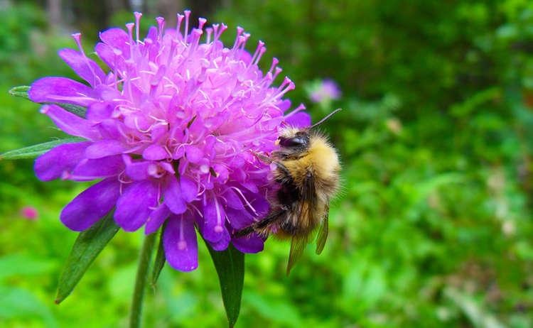 Herzblaettrige Kugelblume Nationalpark Berchtesgaden