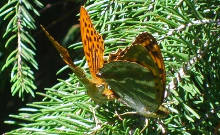 Kaisermantel: Schmetterling im Nationalpark Berchtesgaden