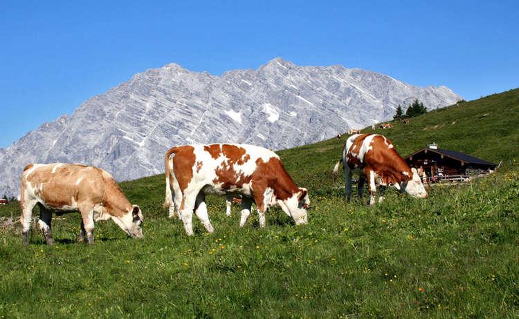 Kuehe Auf Der Gotzenalm Nationalpark Berchtesgaden