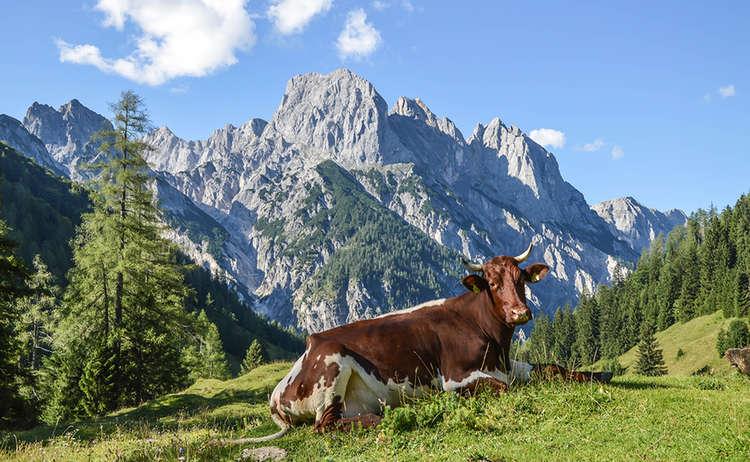 EIne Kuh auf der Bindalm