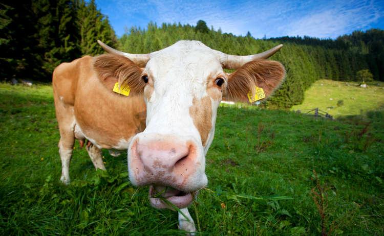 Kuh Weide Alm Verhalten