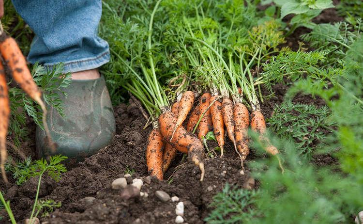 Bio-Karottenglück © Michi Namberger