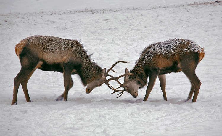 Junghirsche kämpfen in der Wildfütterung im Klausbachtal