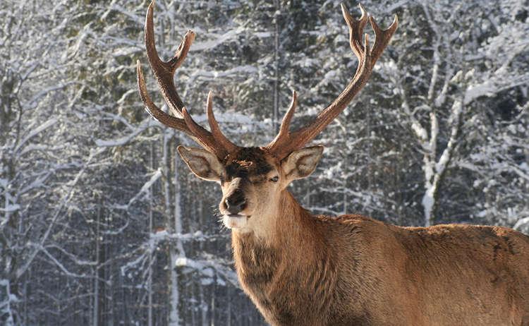 Rothirsch Nationalpark Berchtesgaden Wildfuetterung