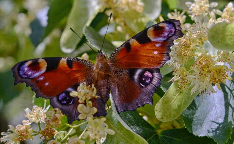 Schmetterling Pidinger Bienenweg