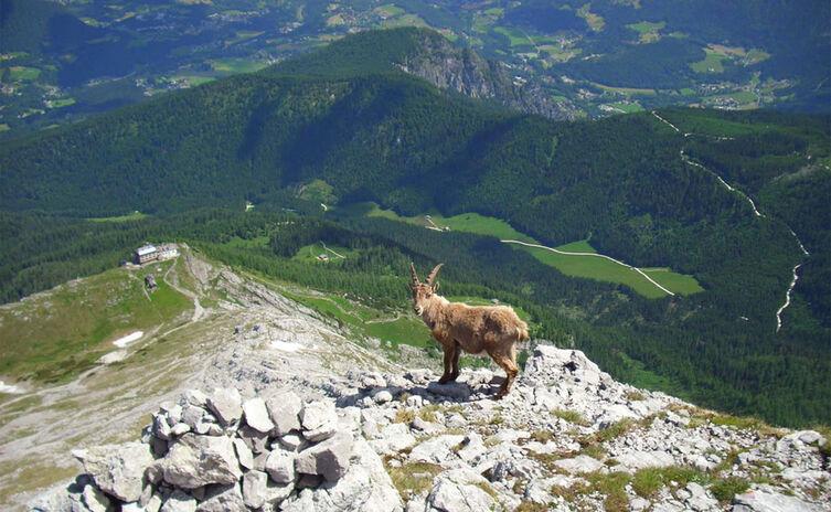 Steinbock Am Watzmann Nationalpark Berchtesgaden