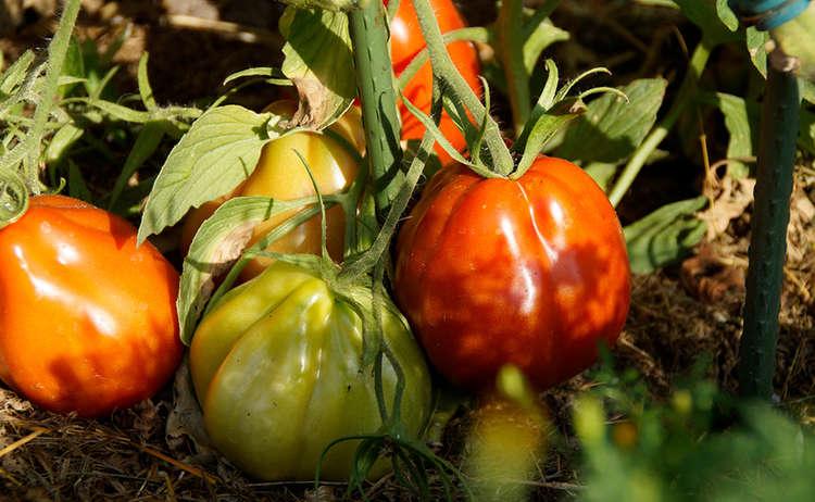 Stierherz Tomate Berchtesgaden Bauerngarten
