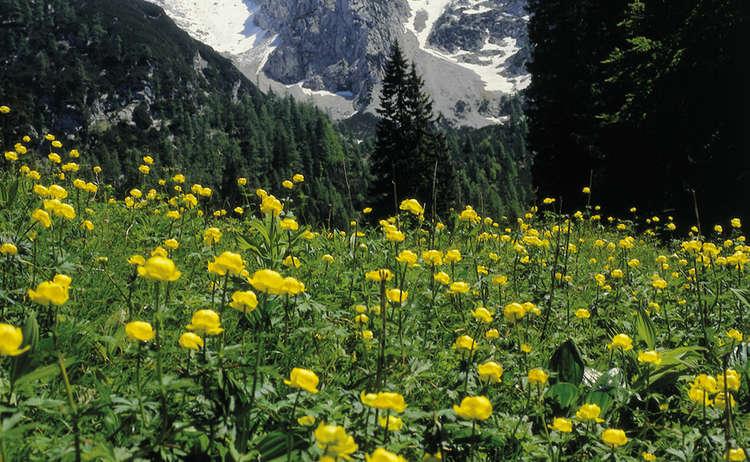 Sumpfdotterblume Im Nationalpark Berchtesgaden