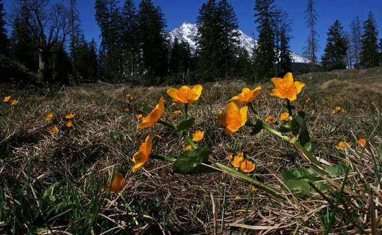 Sumpfdotterblume Nationalpark Berchtesgaden