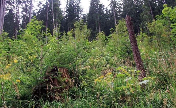 Wald Verjuengung Im Nationalpark Berchtesgaden1