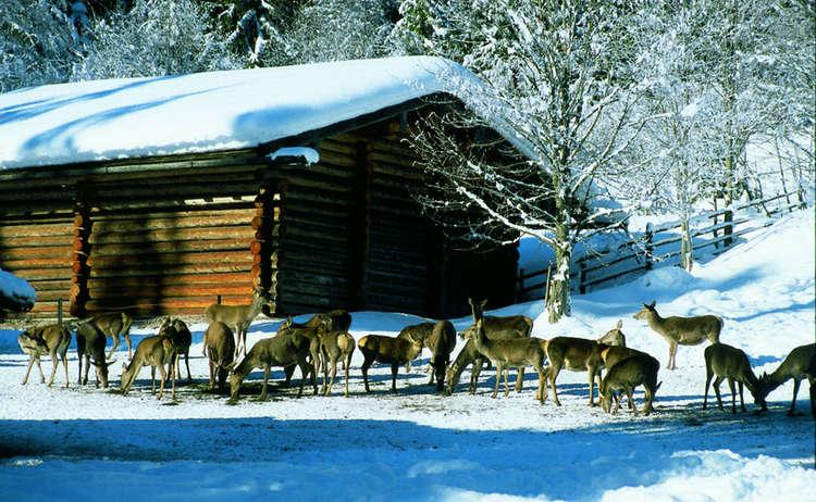 Wildfuetterung Im Klausbachtal Ramsau