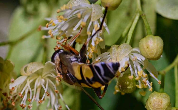Biene in einer Winterlinde am Pidinger Bienenweg